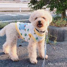 💛 マヌケヅラ ・ ・ #お散歩 #福 #愛犬 #犬 #プードル #トイプードル #タイニープードル #dog #poodle #toypoodle #大切な家族 #最愛の息子 #愛おしい #大好き #幸せ #目に入れても痛くない #ワンコなしでは生きていけません会 #ふわもこ部 #ママミング #適当