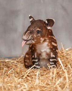 I am a baby Tapir. My spots and stripes will disappear as I age. I live in the jungles of Central and South Americas and in Asia.