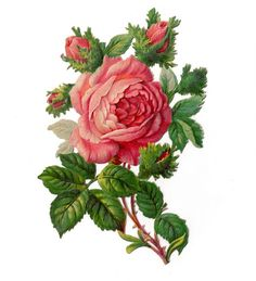 """Vintage Clip Art- Rose - I just received a new batch of Victorian die cuts that I purchased last week in the mail today.  This is one of my favorite flowers in the bunch- although now when I look at it a little closer, lowest bud looks like Seymore from """"The Little Shop of Horrors"""" movie.  -Sarah"""
