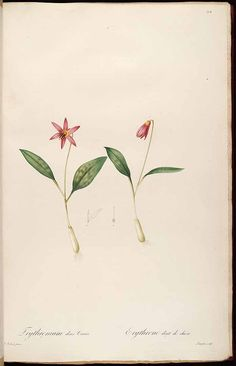 37353 Erythronium dens-canis L. / Redouté, P.J., Les Liliacées, vol. 4: t. 194…