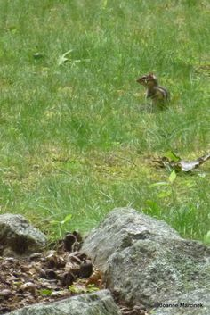How to Get Rid of Chipmunks in your Yard - Made Easy