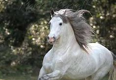 Andalusian Stallion by RavenHorse, via Flickr