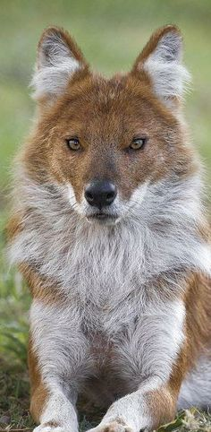 Dholes are social wild dogs classified as endangered largely due to loss of habitat and lack of available prey- San Francisco zo