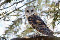 Western Barn Owl South Africa