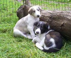 adorable borzoi puppies