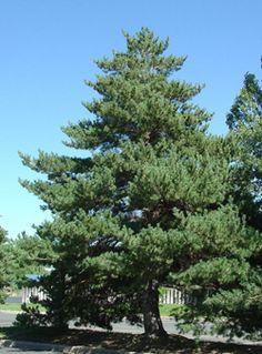 Pinus sylvestris, cheiro de Natal.