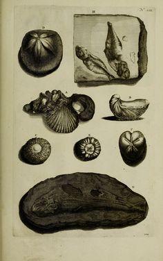 https://flic.kr/p/xDT9hv | n146_w1150 | Thesaurus imaginum piscium testaceorum :. Lugduni Batavorum :apud P. van der Aa,1711.. biodiversitylibrary.org/page/43058227