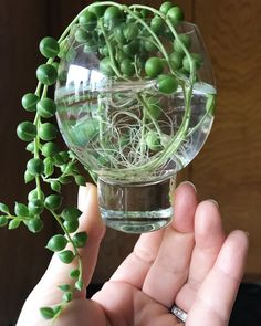 "(Photo) ""Moved these pearls from my disc-shaped propagation vessel to one with a larger opening. So far these guys are thriving. Sending plant joy and happiness to all! Propagating Succulents, Growing Succulents, Succulent Gardening, Cacti And Succulents, Planting Succulents, Container Gardening, Planting Flowers, Succulent Care, Watering Succulents"