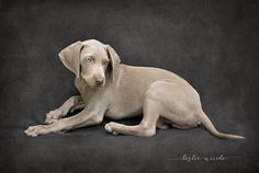 Before & After Weimaraner puppy textured photograph. Texture by French Kiss Collections.