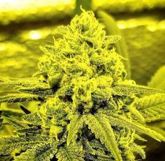 Legal Cannabis Shop; Visit Our Legit, Reliable And Discreet Online Cannabis Dispensary And Get Your High Grade Medical Marijuana   Weed for Sale   THC and CBD Oil For Fale   Cannabis oils   Edibles For Sale   Hemp Oil   Wax   Shrooms For Sale, Top Grade Strains ( Hybrid, Indica and Sativa). Text/call +1 (908)485-7293 website: www.legalcannabisshop.com