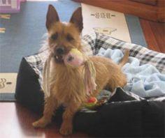 Australian Terrier | Australian Terrier Photos Pictures Puppies Australian Terriers