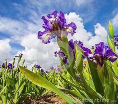 Iris Flower - White And Purple