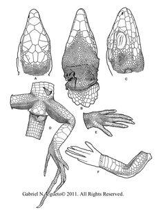 Cnemidophorus leucopsammus by ~Kana-hebi on deviantART