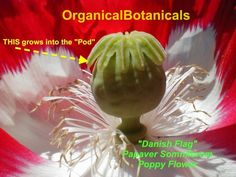 Danish Flag, Nature's Miracle, Exotic Flowers, Poppies, Harvest, Red And White, Christmas Bulbs, Seeds, Seasons