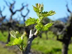 bud break, or 'bud burst' in Sonoma Valley