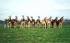 .Mules line up boys! how did he do that