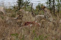 Panther, South Africa, Wildlife, Animals, Animales, Animaux, Animal, Animais, Black Panther
