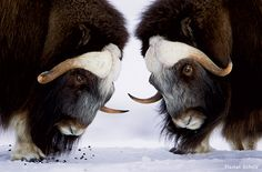 Musk Oxen,  play-fighting in preparation for breeding season