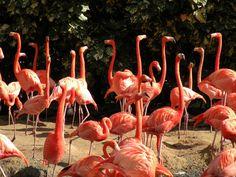 Flamingos, Busch Gardens, Tampa