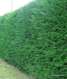 Maintaining a Leylandii Hedge