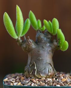 Tylecodon leucothrix | 7yo seedling 1.25in diameter | kitoi | Flickr
