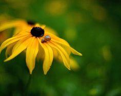 노랑 루드베키아 꽃잎 위 아기달팽이