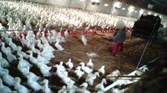 Tierqual in Mastbetrieb für Wiesenhof-Konzern: Arbeiter erschlagen Enten mit Mistgabeln.