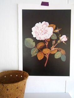 Botanical print from a 1972 collection of book plates Rose Gallica vintage book plate  Page measures: 11 3/4 tall by 8 1/2 wide  Youll receive this