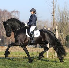 Friesian stallion Hessel 480 Sport available for breeding, Dutch registered Friesians through the KFPS/FHANA, Friesian Connection Stallion Station