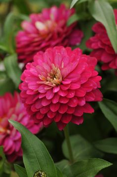 Zinnia 'Double Zahara Strawberry' More