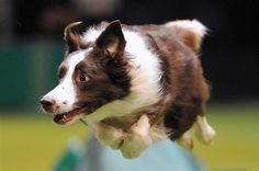 Image: A collie performs a jump during the agility competition on the fourth day of Crufts dog show in Birmingham, England, on March 10 (© Carl Court/AFP/Getty Images)