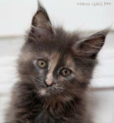 © copyright Marco Galli. Gatto Virginia, splendido cucciolo di Maine Coon. Galli Marco il fotografo dei gatti.CLICCA QUI https://www.facebook.com/ilgatto72?ref_type=bookmark