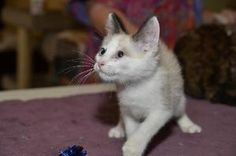 Tanner is an adoptable Snowshoe Cat in Phoenix, AZ. Tanner is one of the sweetest and laid back kittens ever!  He has the softest, cutest meow (unless he wants food) in the world.  He likes to play, b...