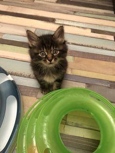 Bobbylicious Amigo: Male #kurilianbobtail #kittens: available www.funkytail.co.uk Bobtail Cat, Cattery, Adorable Kittens, Cats, Animals, Gatos, Animales, Animaux, Animal