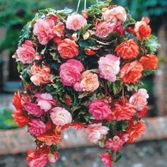 Passion Mixed Begonia  Wow!
