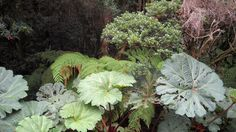 Umbrella Plant - The leaves can grow to 7 feet across - Costa Rica Rain Forest Volcano Poas