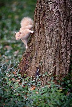 LSU's albino squirrel