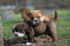 Continental Bulldog, Bulldog Breeds, Bulldogs, I Love Dogs, Boys, Puppys, Pet Dogs, Baby Boys, Senior Boys