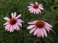 Tvorba eshopu – vytvorte si vlastný eshop s BiznisWebom Echinacea Purpurea Magnus, Plants, Plant, Planets
