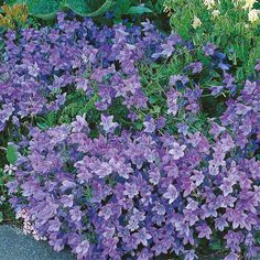 Campanula carpatica 'Blue Clips' - Cottage Garden Plants - Van Meuwen