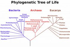 How to Read a Phylogenetic Tree? A phylogenetic tree is a branching diagram, showing the evolution of closely-related species from their ancestor. Root of. Lynn Margulis, Fungi, Ernst Haeckel, Los Primates, Phylogenetic Tree, Life Map, Theory Of Evolution, Human Evolution, Biotechnology