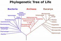 L'albero filogenetico (di tipo radicato) proposto da Carl Woese nel 1990, che suddivide i viventi in tre domini e mostra le parentele evolutive tra i diversi gruppi (immagine: Wikimedia Commons)