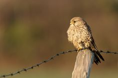 Common kestrel/ Torenvalk by wim claes - Photo 134435509 - 500px