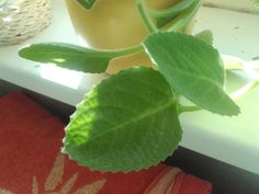 Honeydew, Plant Leaves, Cleaning, Fruit, Health, Plants, Health Care, Home Cleaning, Plant