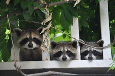 Trois ratons-laveur curieux