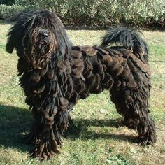 Bergamasco: That coat though…you'd never buy a rug again. Just have your dog lie down in strategic places around the house for some stylish floor decoration.