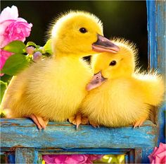 ducklings Still want some baby ducks for Easter some year! Cute Baby Animals, Farm Animals, Animals And Pets, Beautiful Birds, Animals Beautiful, Beautiful Hearts, Yellow Rose Flower, Pink Flowers, Baby Ducks