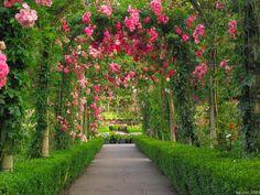 Red Rose Flower Garden Wallpaper|http://refreshrose.blogspot.com/