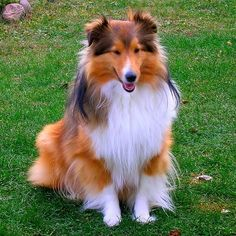 Shelties are gorgeous!