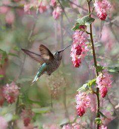 An Anna's Hummingbird enjoying the Flowering Currant, an early Spring flower.